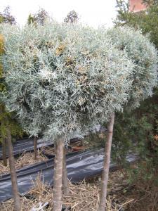 Taieri intretinere arbusti gradina