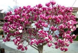 Ingrasaminte pomi fructiferi
