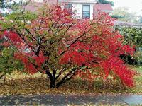 Vand arbori si arbusti ornamentali buxus thuya for Arbusti ornamentali