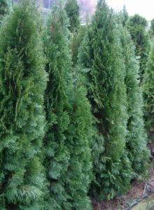 Plantarea arborilor si arbustilor ornamentali