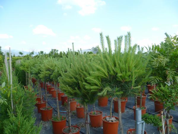 Plante ornamentale pt exterior for Plante ornementale