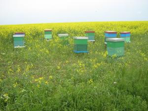 Miere de albine de rapita