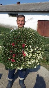 Crizantemelor