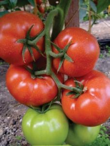Productie tomate
