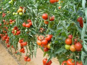 Seminte legume tomate timpurii