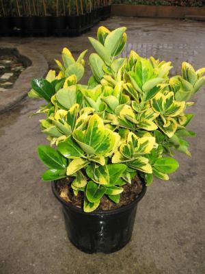 Plante ornamentale de exterior for Plante ornementale