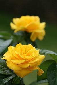 Trandafiri de gradina Golden Delight, planta formata cu radacina in ghivece de 3.5 litri