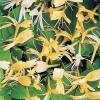 Plante parfumata cataratoare mana maicii domnului (lonicera japonica)