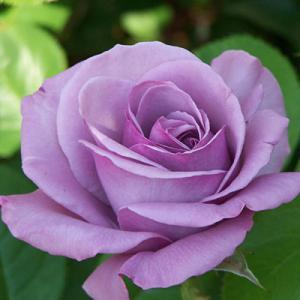 Butasi trandafir