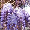 Plante urcatoare wisteria sinensis - prolific