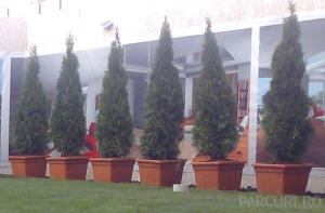 Arbusti rasinosi THUJA OCCIDENTALIS  SMARAGD (Emeraude) h=140-160 cm