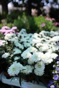 Flori de gradina perene Aster novi belgii White Ladies - alb