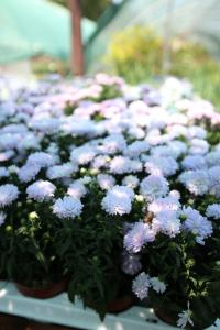 Flori de gradina perene Aster aster dumossus Kassel , steluta, ochiul boului de munte), floare lila