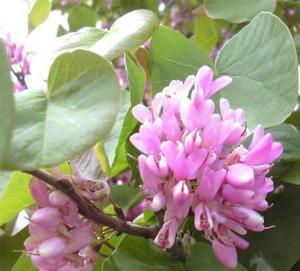 Arbori cu flori CERCIS SILIQUASTRUM (Arbore de Iudeea) h=100-150