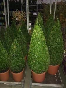 Arbusti forme tunse SPIRALA / BUXUS MICROPHYLA FAULKNER ghiveci 7  litri, H=100CM
