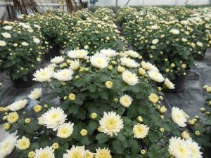 Crizanteme ghiveci