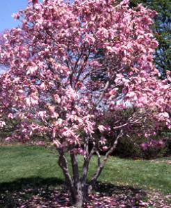 Arbusti ornamentali de gradina preturi si oferta for Arbusti ornamentali