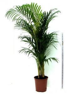 Areca chrysalidocarpus lut p32 h160 palmierul exotic