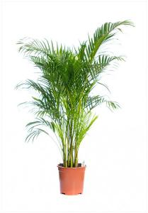 Areca(chrysalidocarpus) lut p24 h140 palmierul exotic