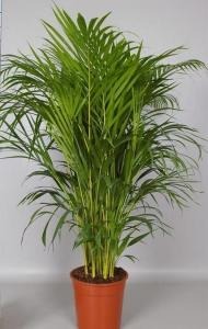 Areca (chrysalidocarpus lut) p45 h270 palmierul exotic