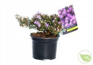 Rhododendron dichroanthum balalaika 50/60 c50