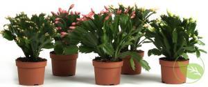 Rhododendron fauriei bananaflip 70/80 c50