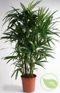 Rhododendron carolinianum pjm elite 70/80 c50