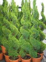 Arbusti ornamentali campoverde ambient srl for Arbusti ornamentali