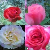 Tunderea trandafirilor