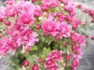 Promotie: Crizanteme ghiveci