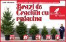Promotie: Brazi de Craciun cu radacina in ghiveci.